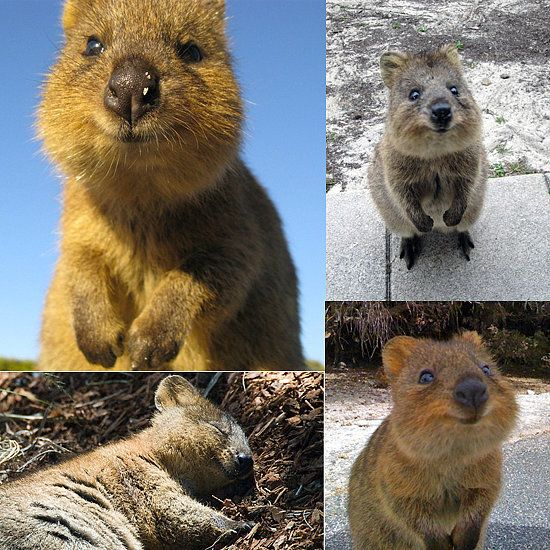 Meet The Quokka The Happiest Animal Ever Quokka Animal And - 15 photos that prove quokkas are the happiest animals in the world