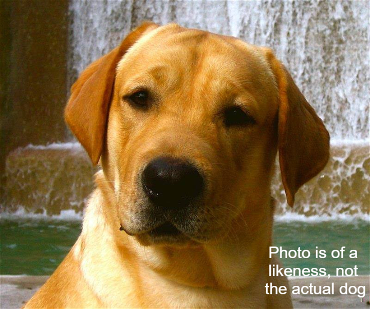 Is This Your Dog? Wayzata Yellow Lab Male Date Found