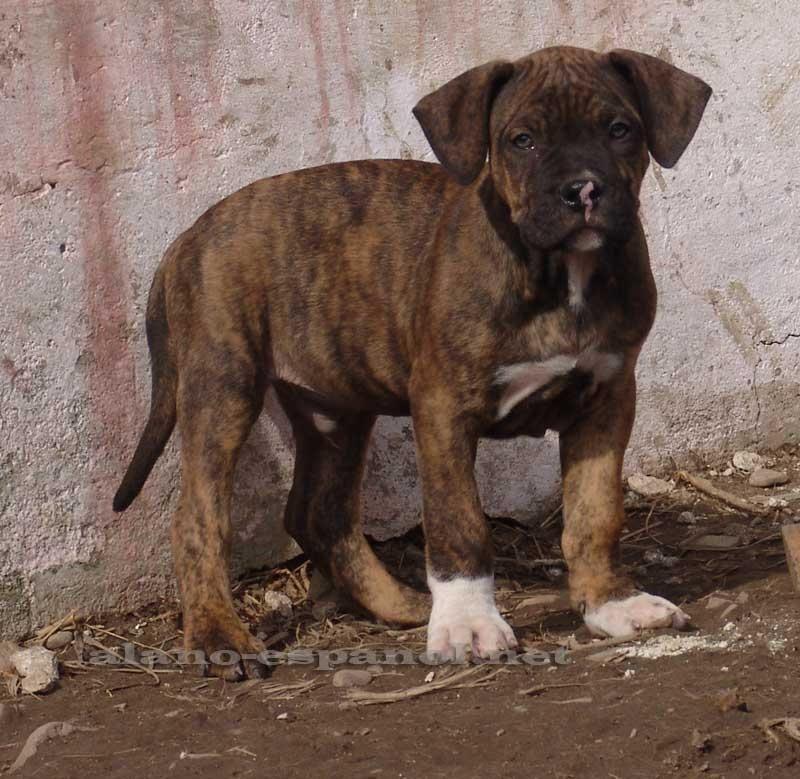 Http Alano Espanol Net Gallery 1217 Jpg Alano Espanol Perros Bulldog