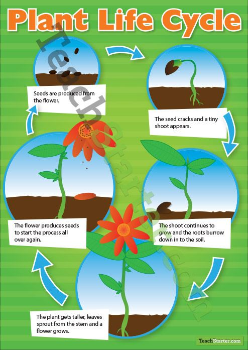 Plant Life Cycle Poster | Teach Starter - Teaching Resources ...