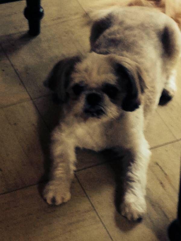 Found Dog Shih Tzu In Oswego Il Pet Name Unknown Id 56441