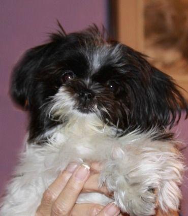 House Broken Dna D Mi Ki Puppies For Sale Money Back Guarantee