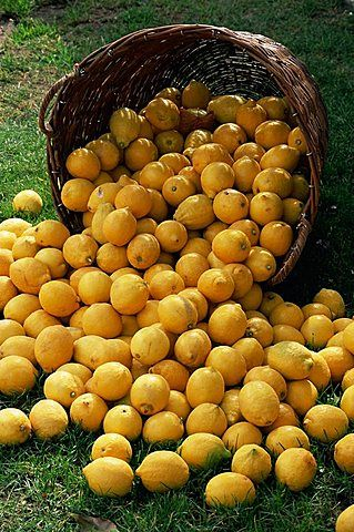 Lemons spilling from a basket, Lemon Festival, Menton, Alpes Maritimes, Cote d'Azur, Provence, France, Europe