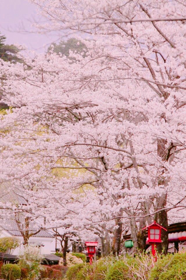 Pin By Jacquie Damgaard Phd On Cherry Blossoms Cherry Blossom Japan Japanese Tree Sakura Tree