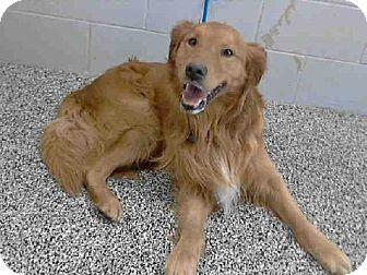 San Bernardino Ca Golden Retriever Mix Meet Rescueonly A Dog