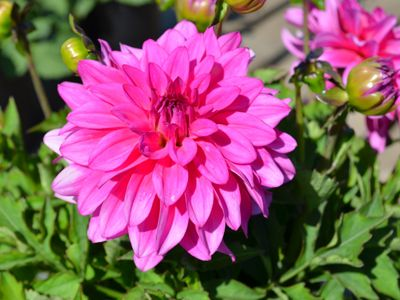 Dahlia Pink And Beautiful Exclusively Sold At Home Depot Flowers Gardening Plants Homedepot Plants Flowers Bloom