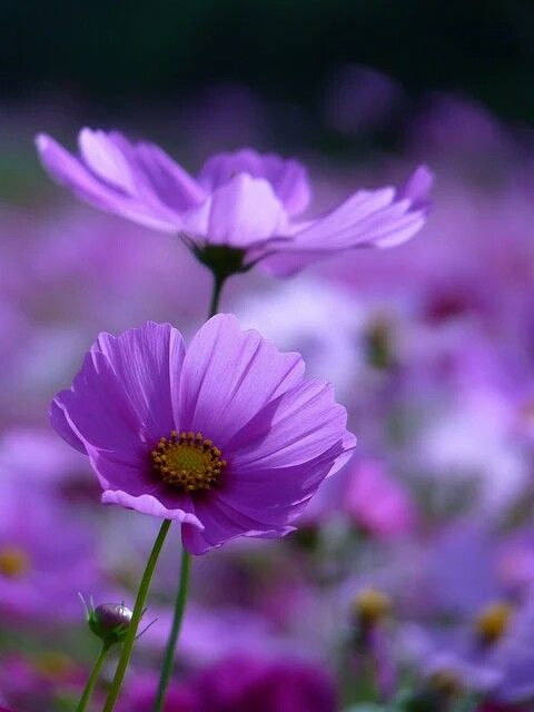 Purple Cosmos Flowers Amazing Flowers Purple Flowers