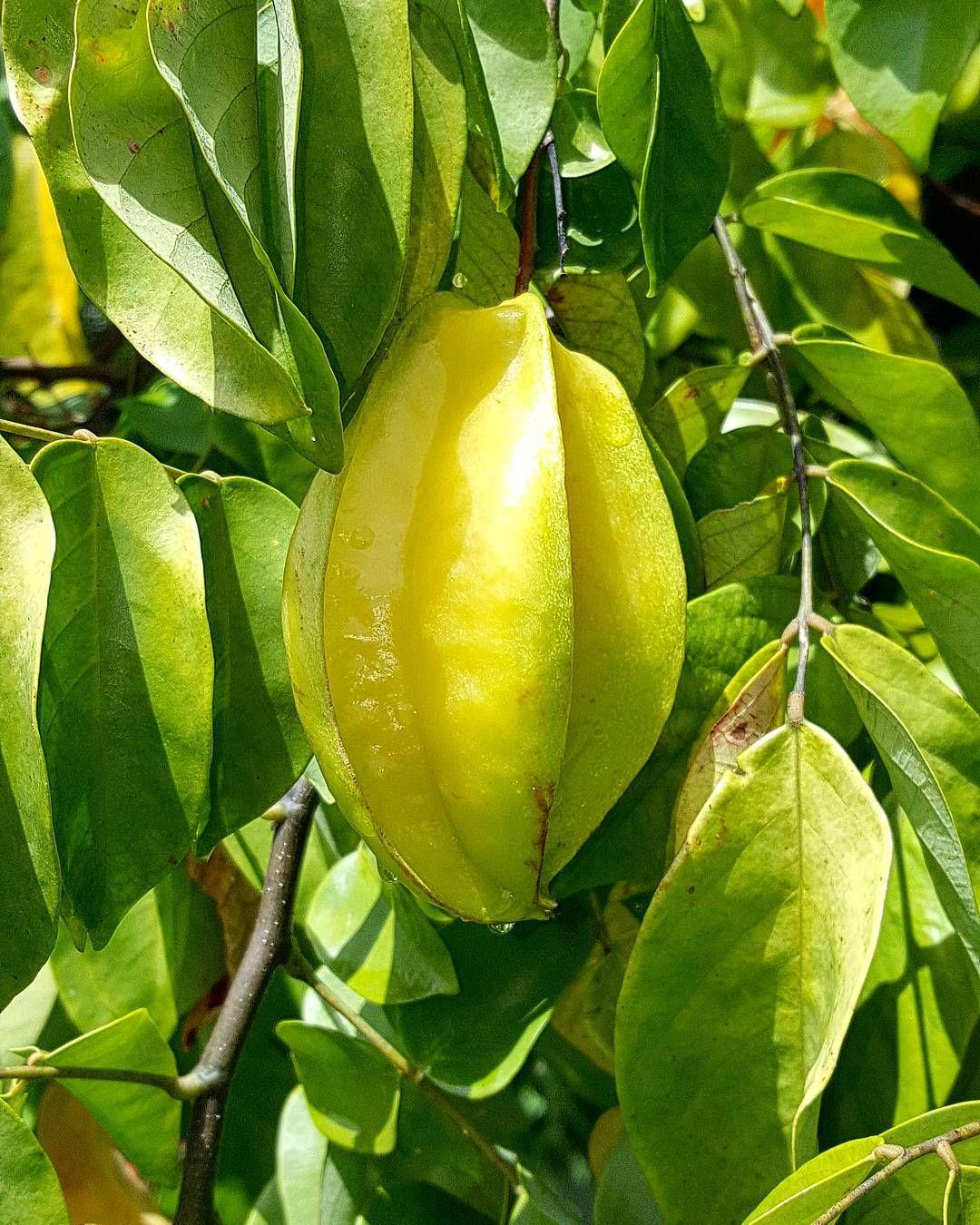 "Repost from Instagram ! #WeLike ! #Madinina by @amande_d0uce ""Carambole... Lieu: Le Lamentin | Photo: Samsung Galaxy Note 5 #fruit #garden #samsungnote5 #ig_martinique #ig_caribbean #sunday #nature #matinik_pictures #igworldclub #phototag_it #shotaward #westindies #martinique #caribbean #picoftheday #westindies #madinina #ocarribeano #all_shots #world_shotz #ig_captures #love_natura #photooftheday #worlderlust :)"" http://ift.tt/1JS40gs"