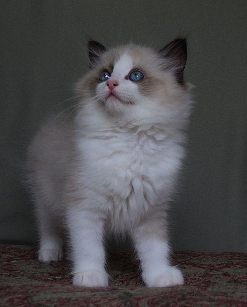 Ragdolls Totally Terrific Ragdoll Kittens In Texas Kittens Ragdoll Cat