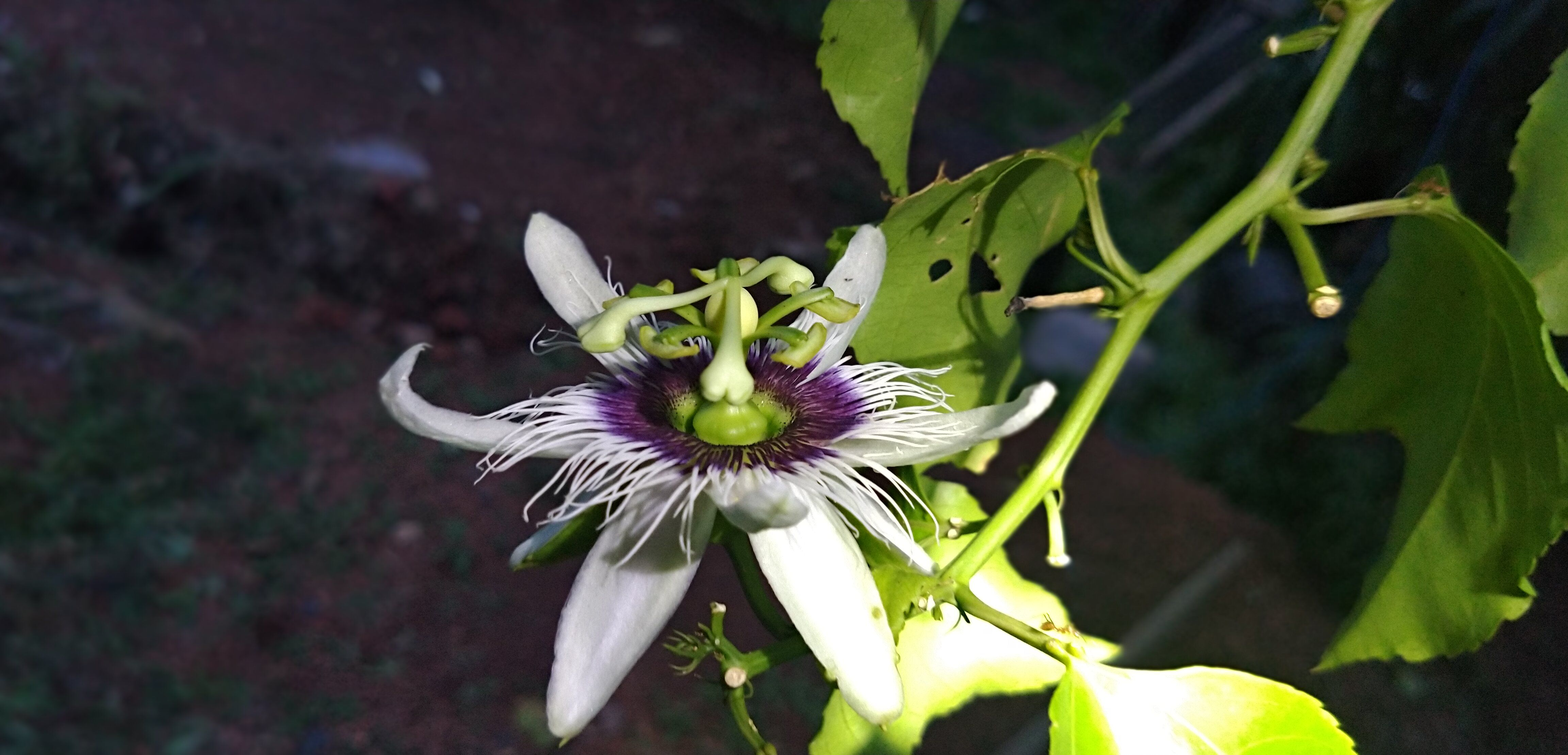 Passion Fruit Flower in 2020 Movies online, Movies to