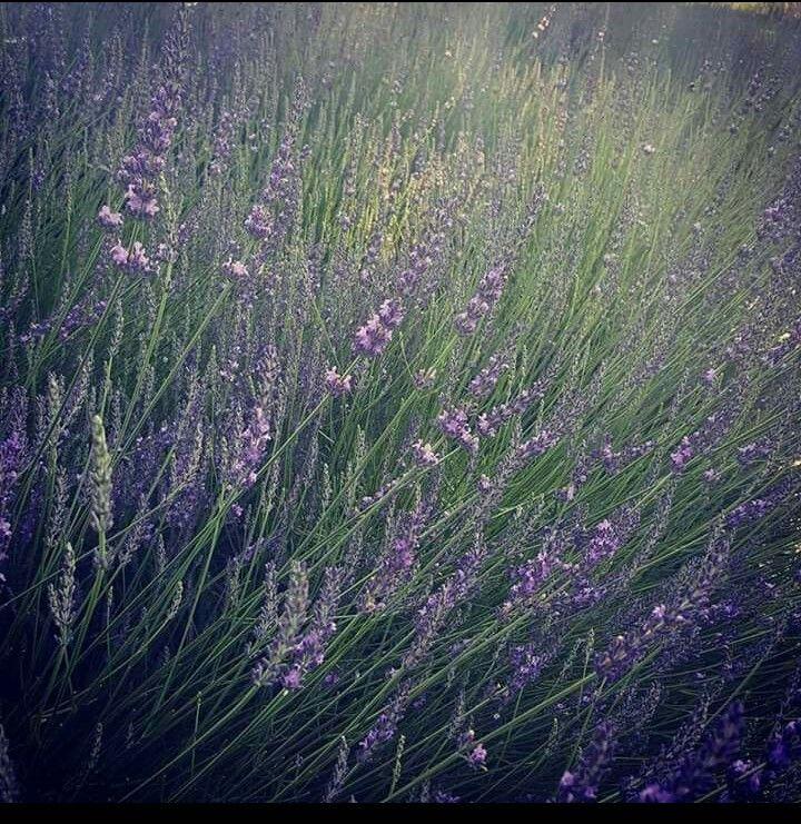 Lavender Falls Farm Cover Photo Lavenderfallsfarm.com