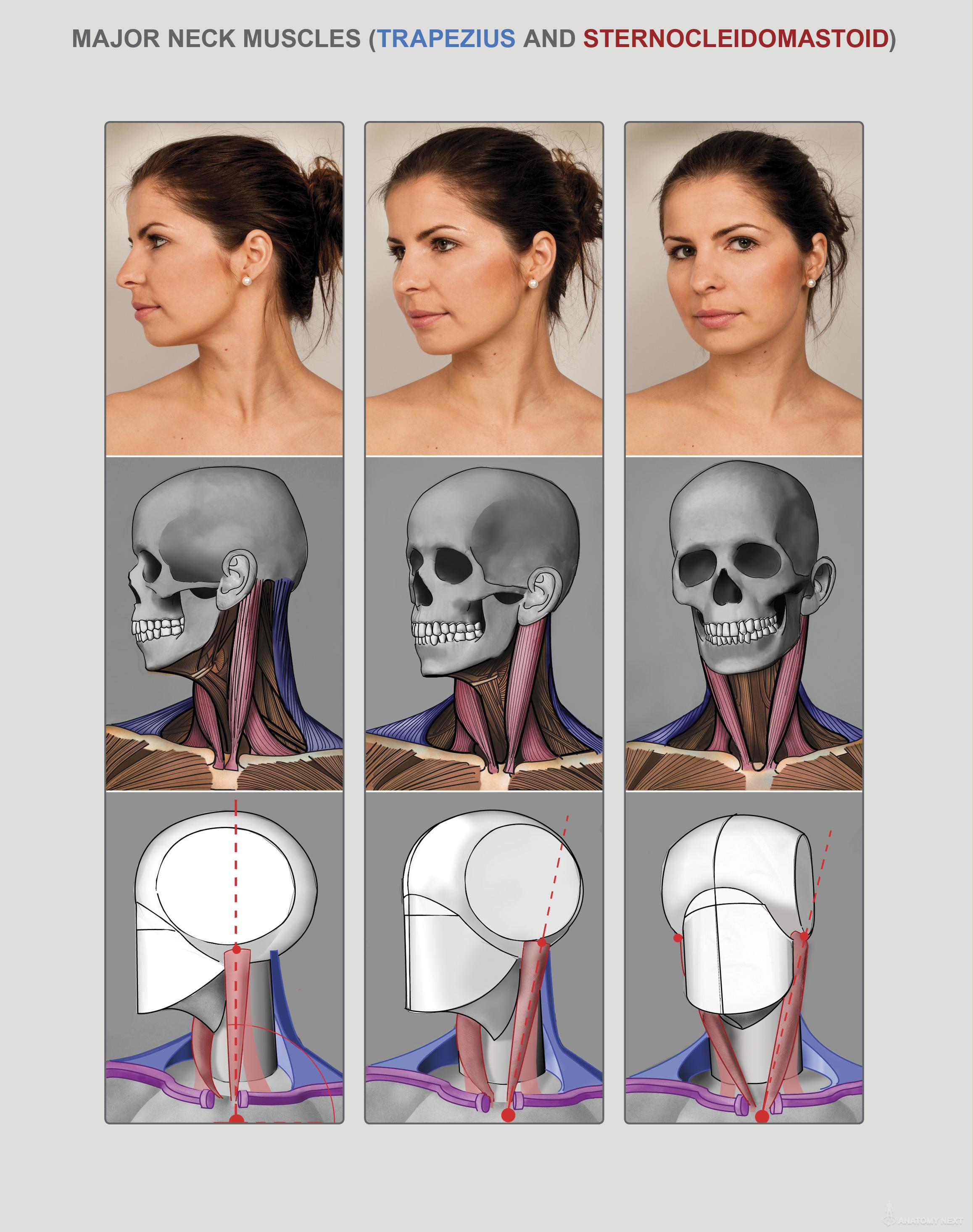 Anatomy Next - Anatomy of Head & neck: Anatomy & features   Anatomy ...