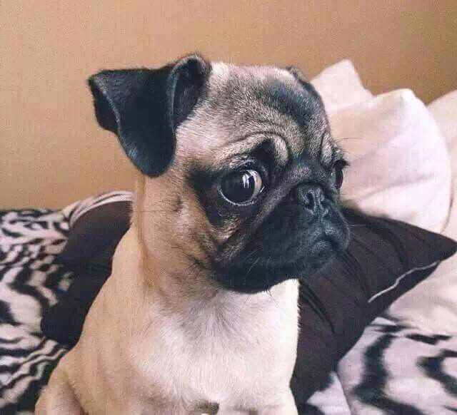 Giving The Side Eye Pugs Pug Puppies Pug Life