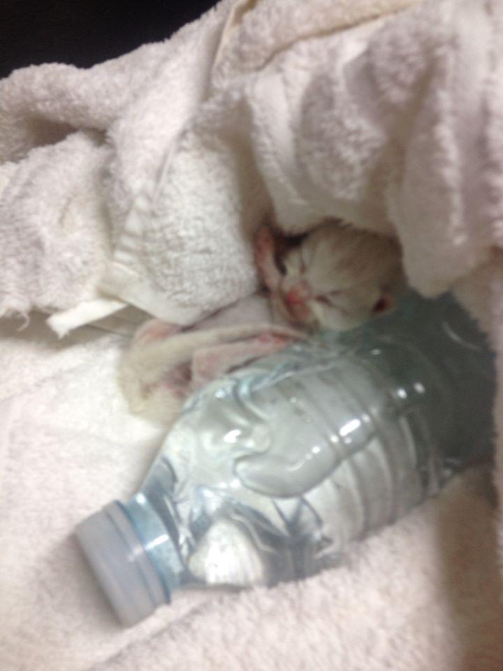 1 Week Old Kitten Being Kept Warm With A Hot Water Bottle When He Wasn T Feeding Kitten Hot Water Bottle Kittens