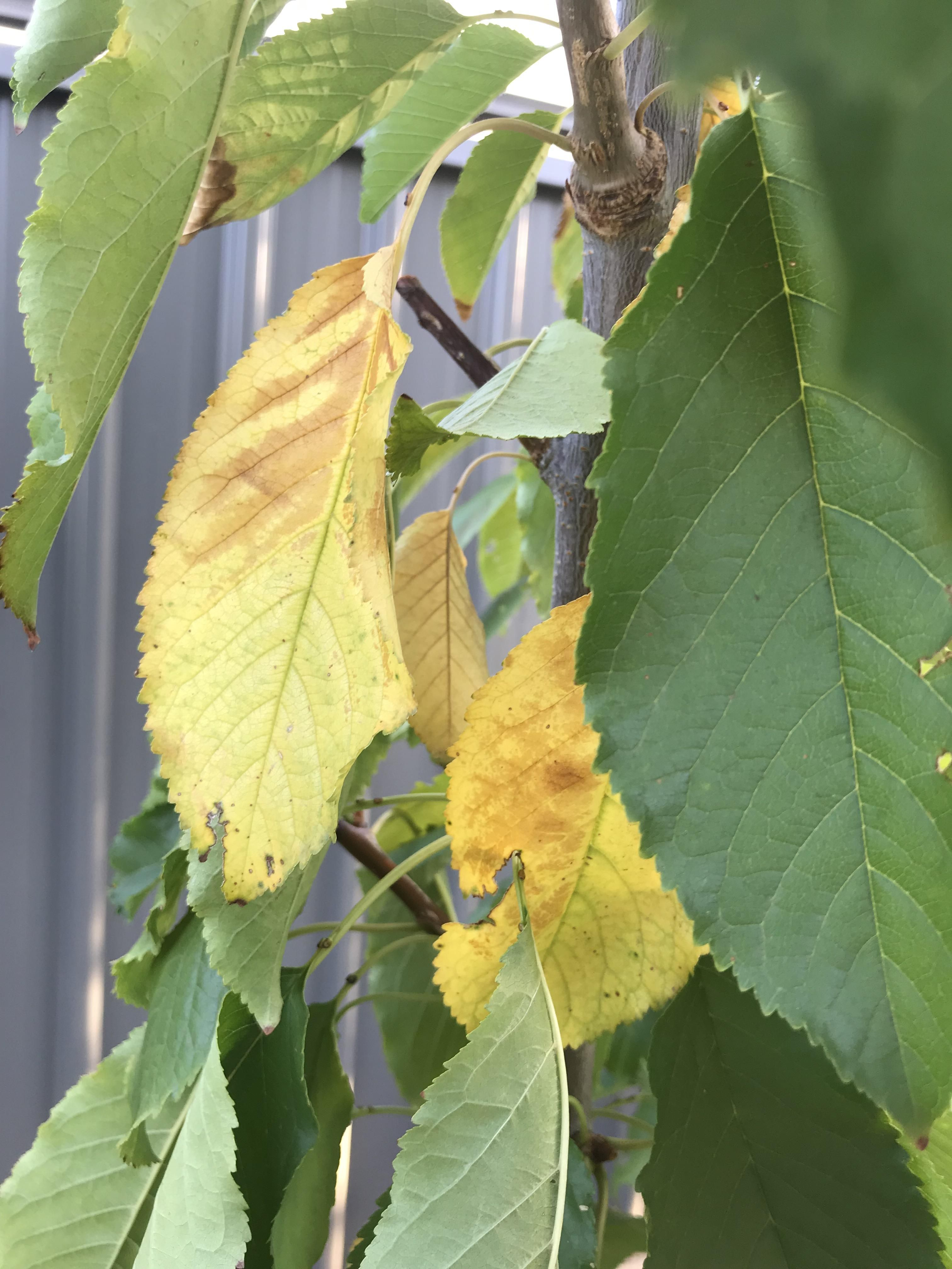 Cherry Trees With Yellowing Leaves Its Been A V Hot Summer In South Australia Weve Had Many Many Days Over 40 Yellow Leaves Flowering Cherry Tree Cherry Tree