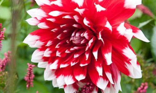 Dahlia Mystery Day, 'Mystery Day' Dahlia, Decorative Dahlias, Dinner Plate Dahlias, Dinnerplate Dahlias, Giant Dahlias, Bicolor Dahlias, Red Dahlias, Dahlia Tubers, Dahlia Bulbs, Dahlia Flower, Dahlia Flowers, summer bulbs