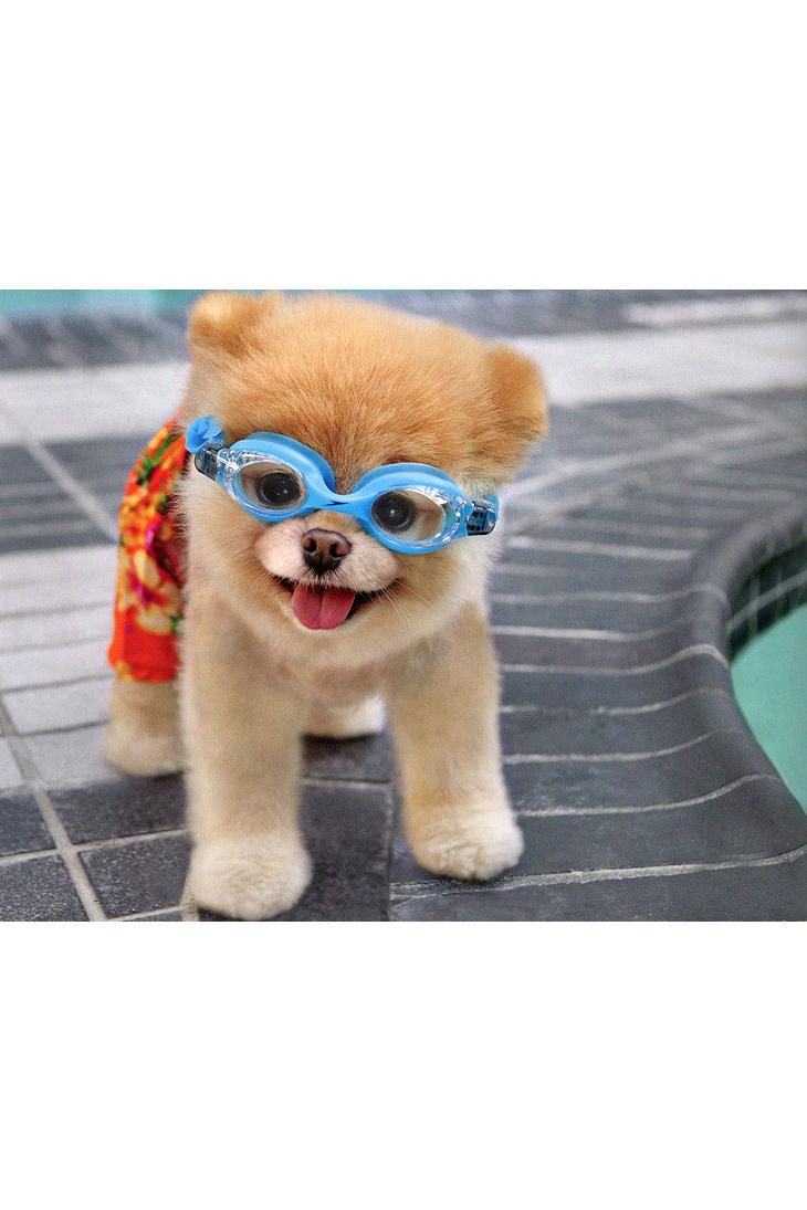 Must see Boo Chubby Adorable Dog - 155db8c57b2664bfc88f781414269207  Perfect Image Reference_27219  .jpg