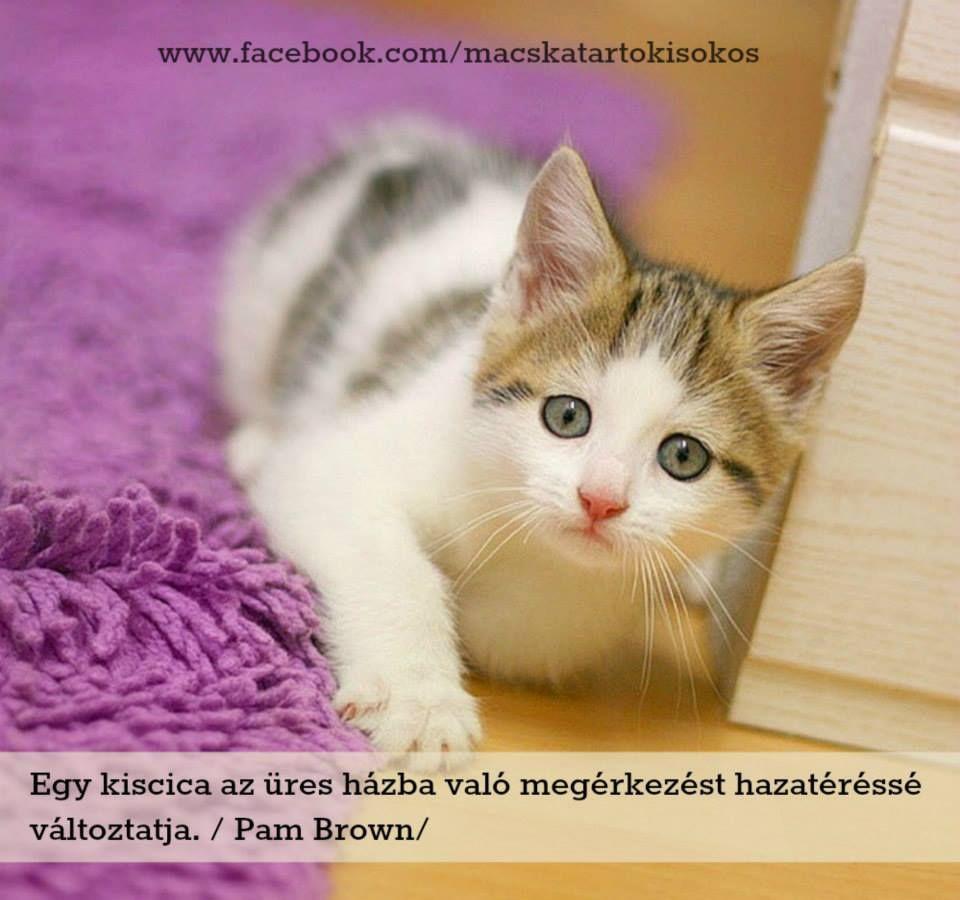 cicákról idézetek Pam Brown idézete a cicákról. A kép forrása: Macskatartó Kisokos