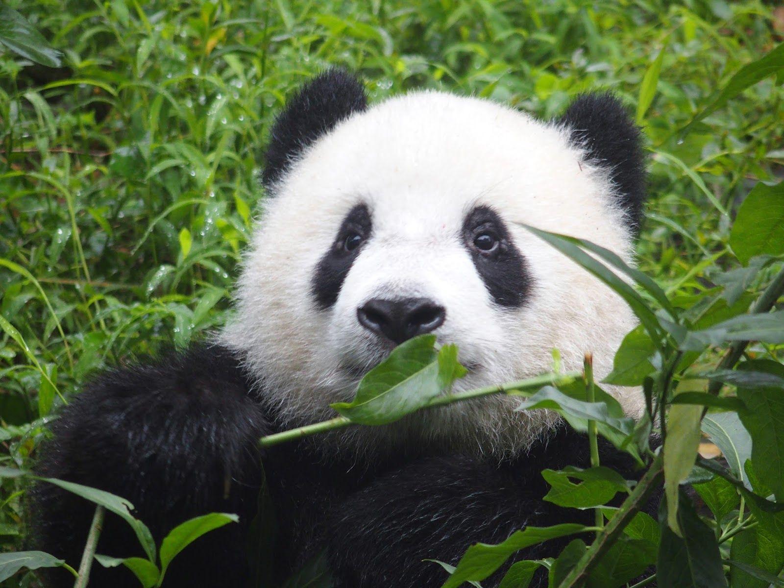 صور الباندا معلومات وصور عن دب الباندا الباندا هو من عائلة الدببة وهو يعرف بالدب الصيني وموطنه الاصلي جنوب ووسط جنوب الصين وي Panda Bear Panda Images Panda