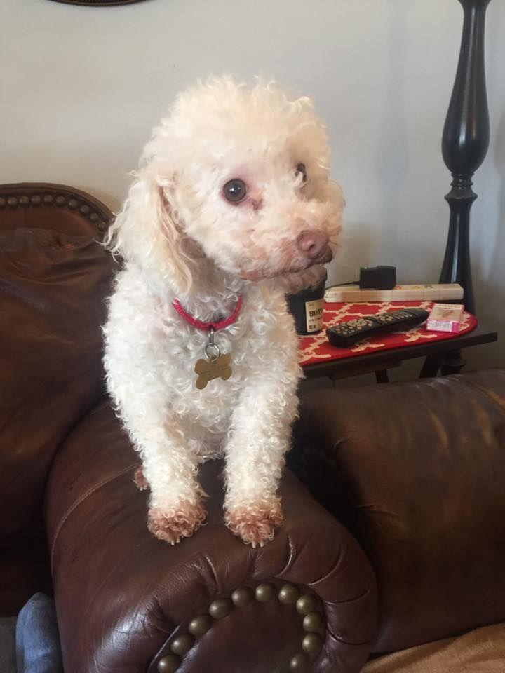 Poodle Toy Dog For Adoption In Lenoir Nc Adn 449393 On