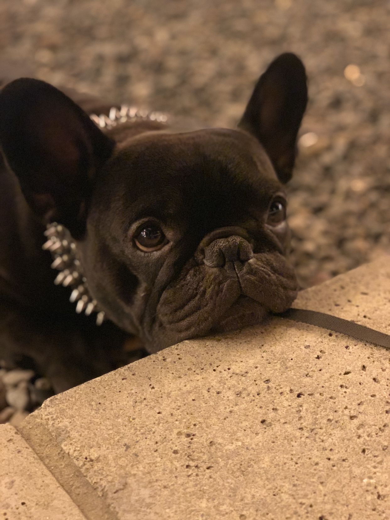 Pin by Trish Stallone on Frenchies French bulldog