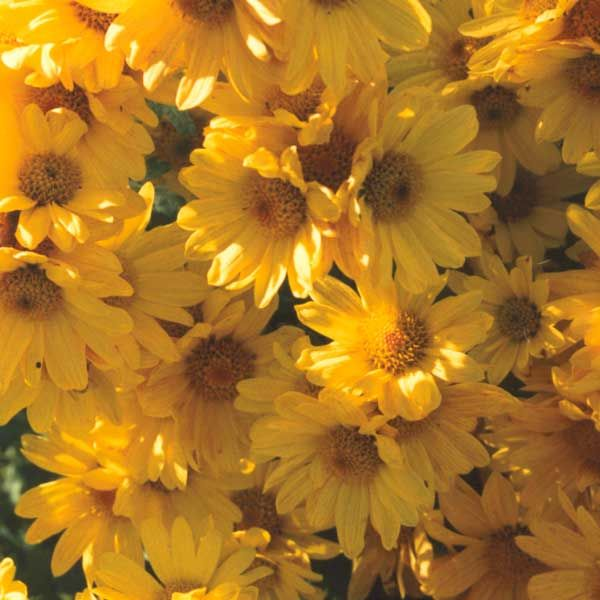 Outdoor Autumn Flowers The World Around Us Fall Flowers Fresh Flowers Online Flower Pictures