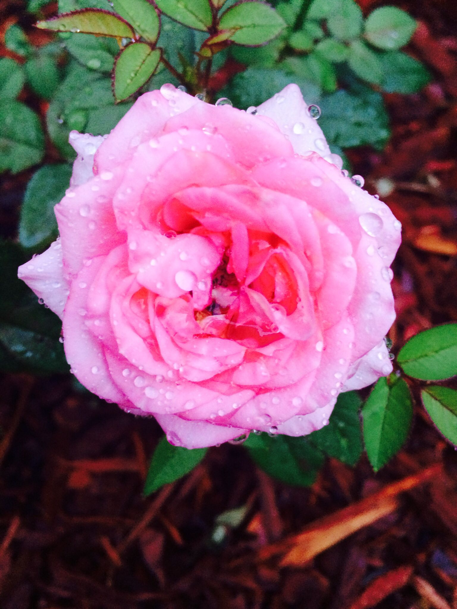 Pink Rose With Raindrops Flowers Lights Pinterest Flowers