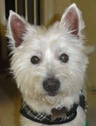 Adopt Westie Angelica Adopted 2 25 12 On Westies West Highland