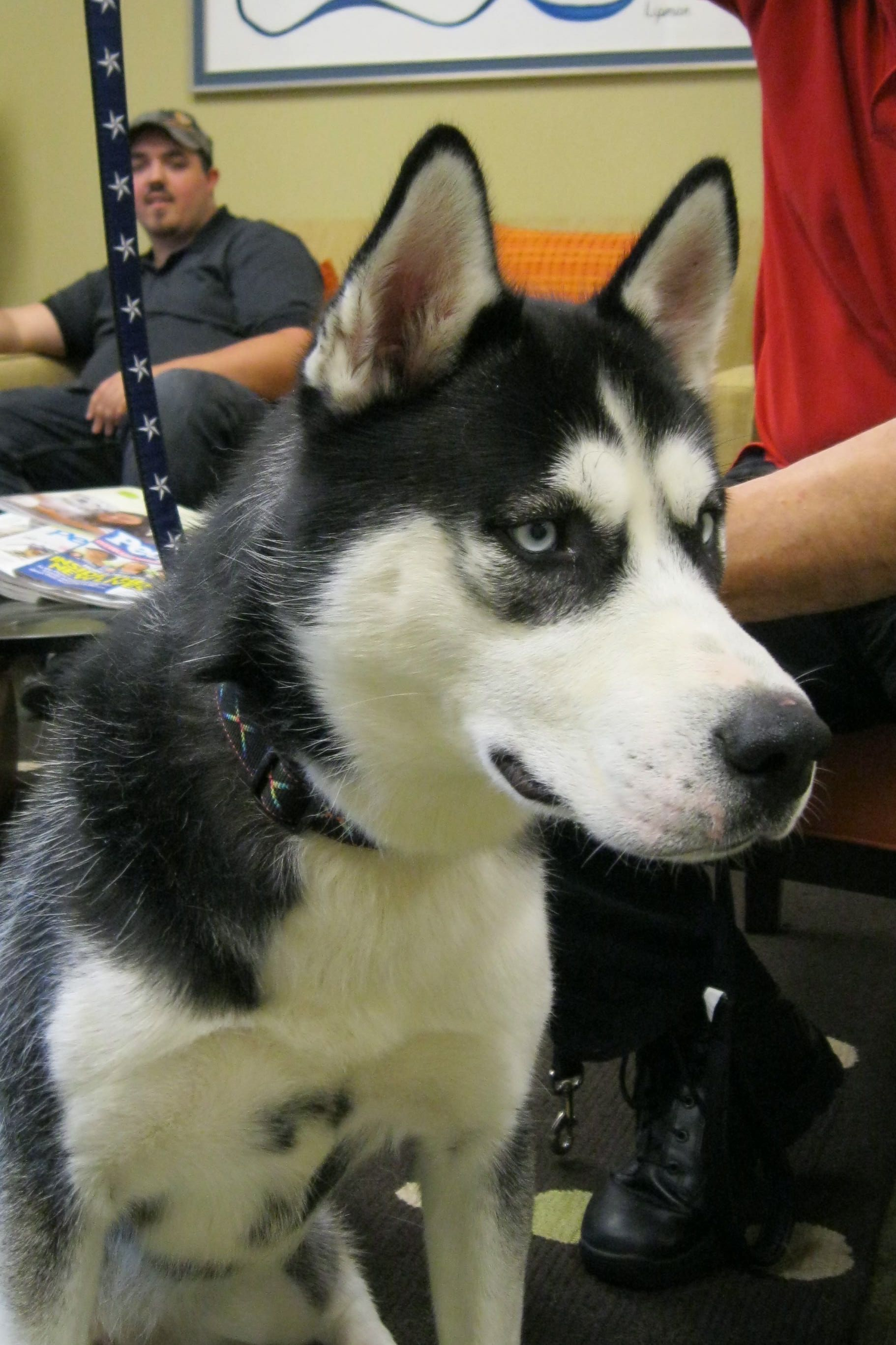 Dallas is a beautiful Malamute 10 month old, with stunning