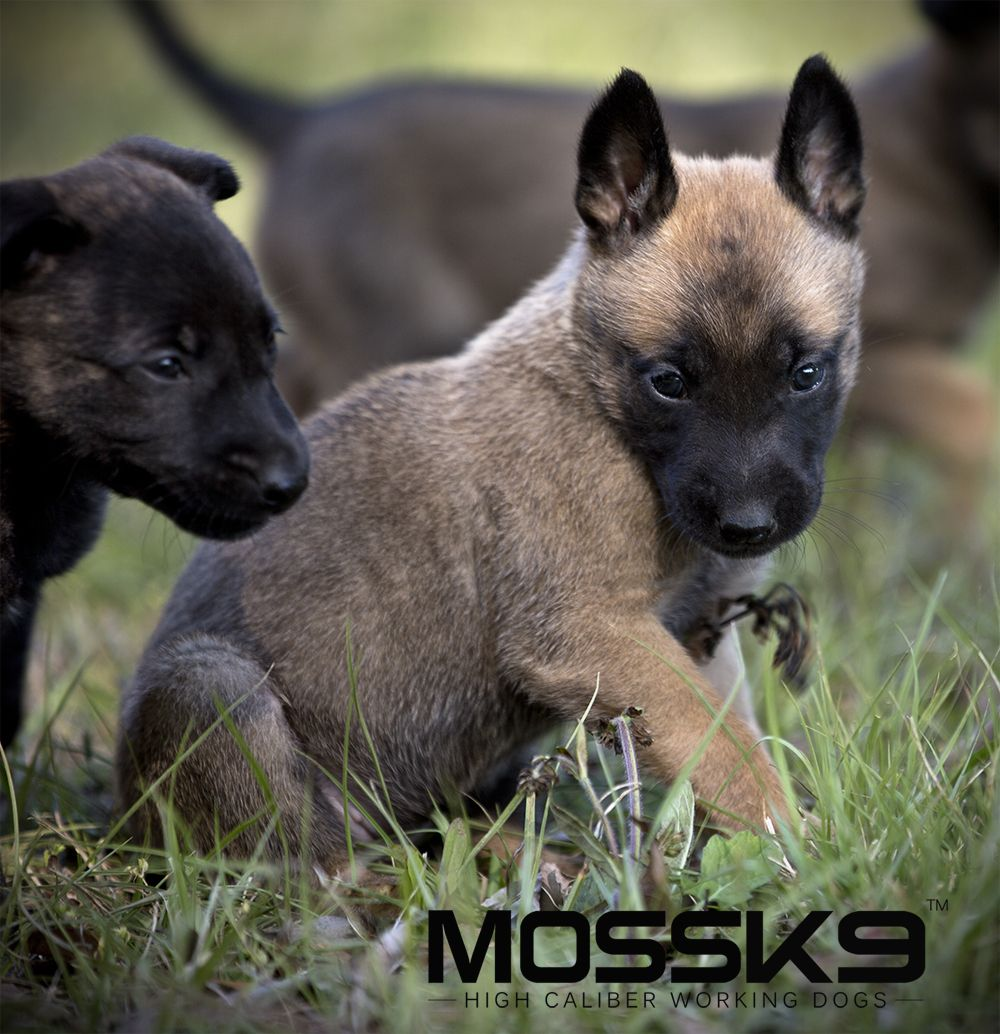 Belgian Malinois Puppies Moss K9 Cute Baby Animals Puppy