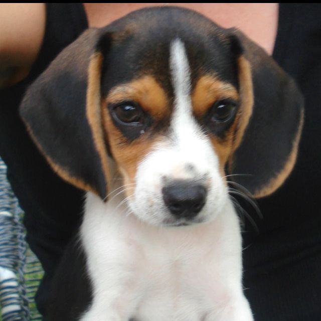Beagle Ellie