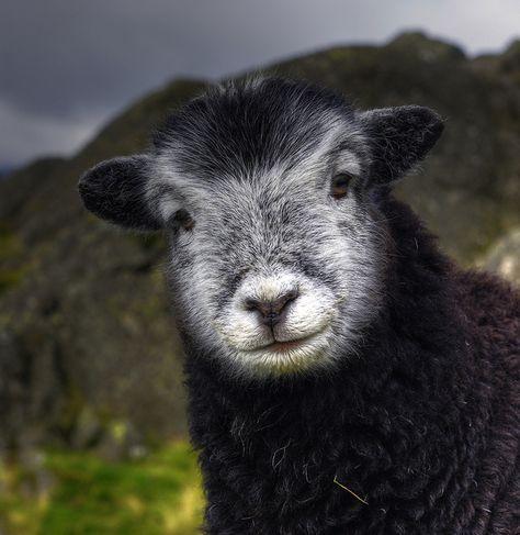 Pin Af Signe V Pa Far Sheep Dyr Billeder