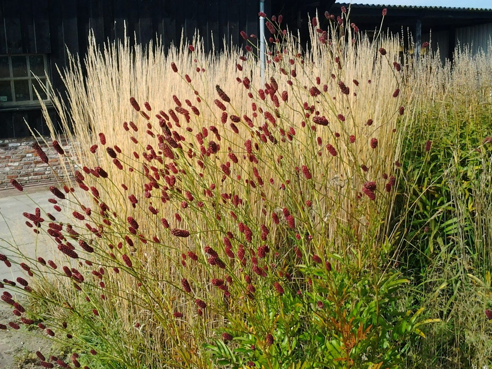 Calamagrostis acutiflora 39 karl foerster 39 and sanguisorba for Sanguisorba officinalis red thunder