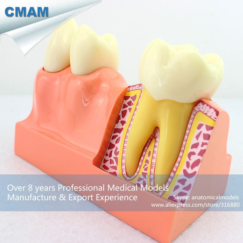 Cmam Tooth21 Oversize 4 Times Permanent Teeth Anatomy Model Medical
