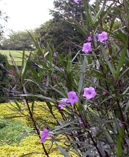 Ruellia Brittoniana Purple Showers Mexican Petunia Plant