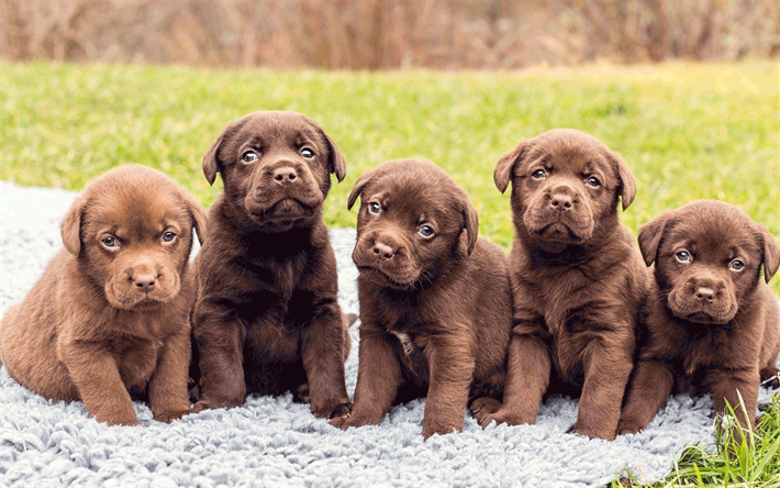 Download Wallpapers Chocolate Labrador Puppies Cute Animals Dogs Pets Cute Dogs Labradors Brown Retriever Cute Dogs Breeds Labrador Puppy Puppy Images