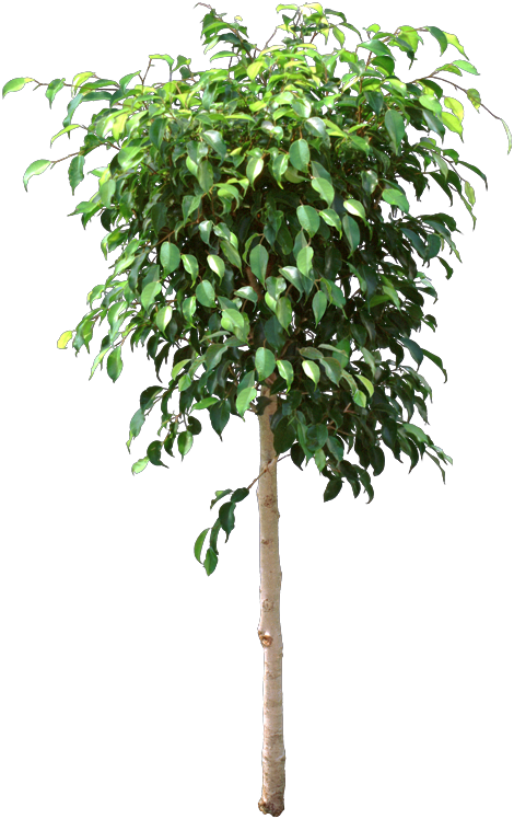 The Original Indoor Ficus Ficus Benjamina Lost Leaves If