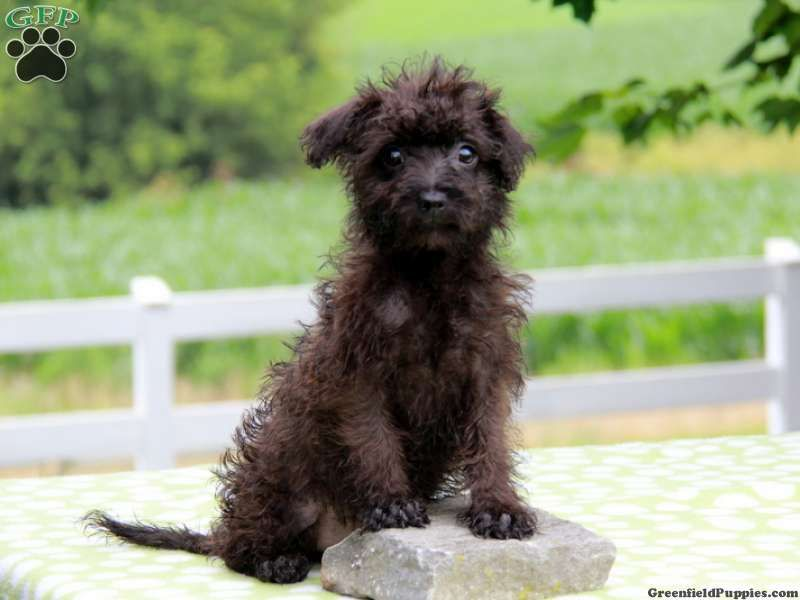 Seaburt Toy Poodle Mix Puppy For Sale In Pennsylvania Poodle Mix Puppies Puppies For Sale Cairn Terrier Mix