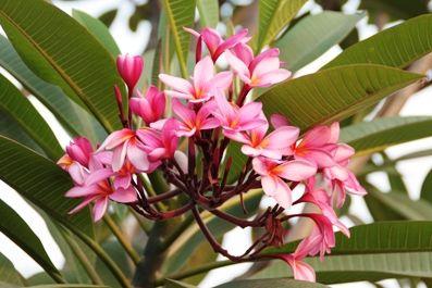 Foto Bunga Kamboja Pink Cantik Di Pohon Pink Album Rose Card Book