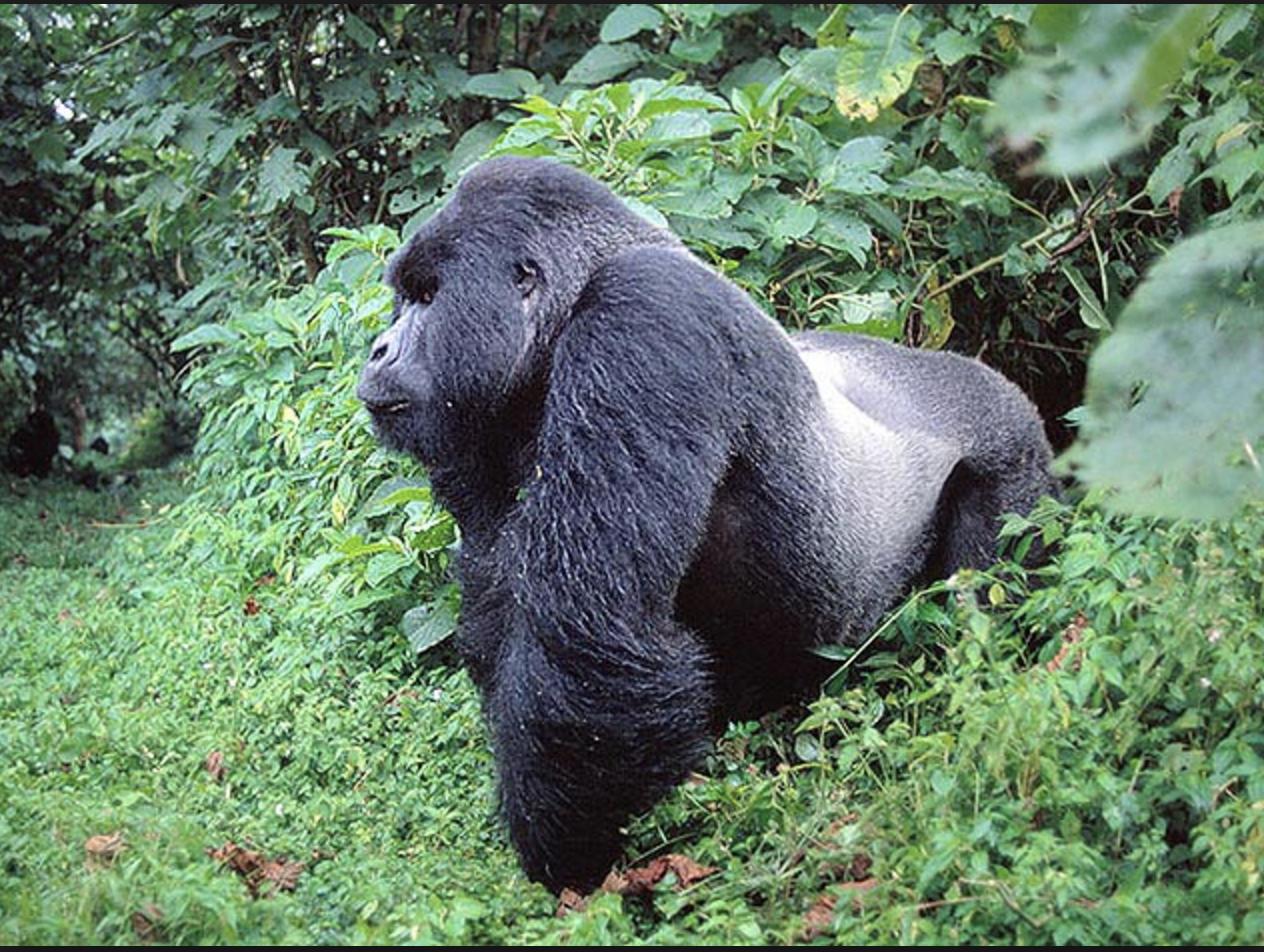 579f1545421d El gorila más grande del mundo a un paso de extinguirse