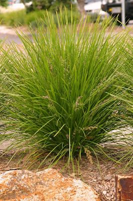 Lomandra Longifolia Breeze A Wonderful Plant Always Looks Good Low Water Etc Photo Doesn T Do It J Shade Grass Tropical Garden Design Shade Perennials