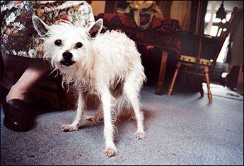 Sinds 2003 portretteert Paul oude honden in hun huiselijke omgeving voor zijn boek Oude honden.
