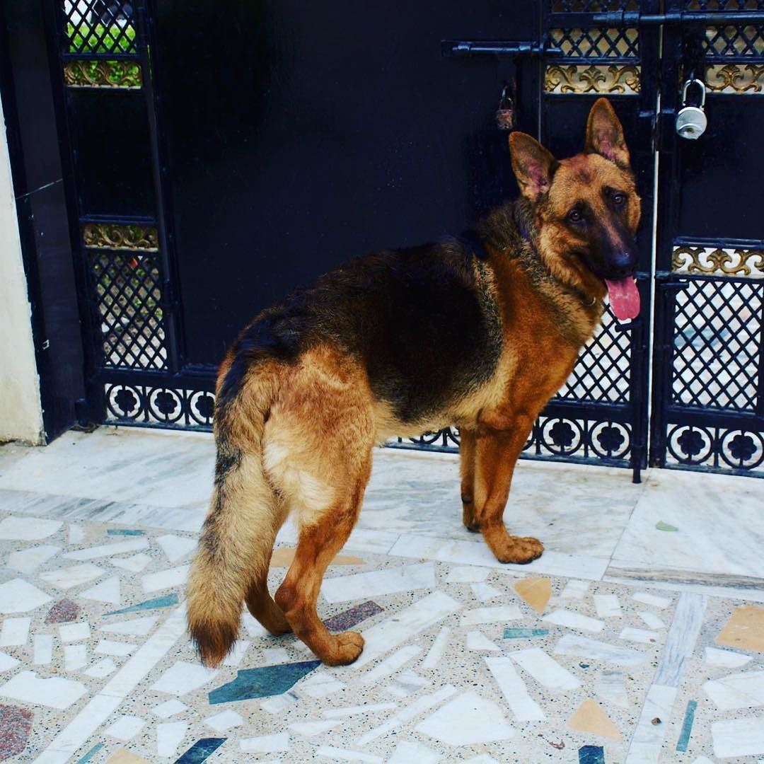 @frodobagginsgsd at a pet boarding house. He was so happy to be there! So many pets! Good caretakers! #PetHomeBoarding #LifeOfManpreet #FinixPost #DogLife #Doggie #Dogs #Gsd #gsdofinstagram #gsdforinsta#gsdpuppy #gsds