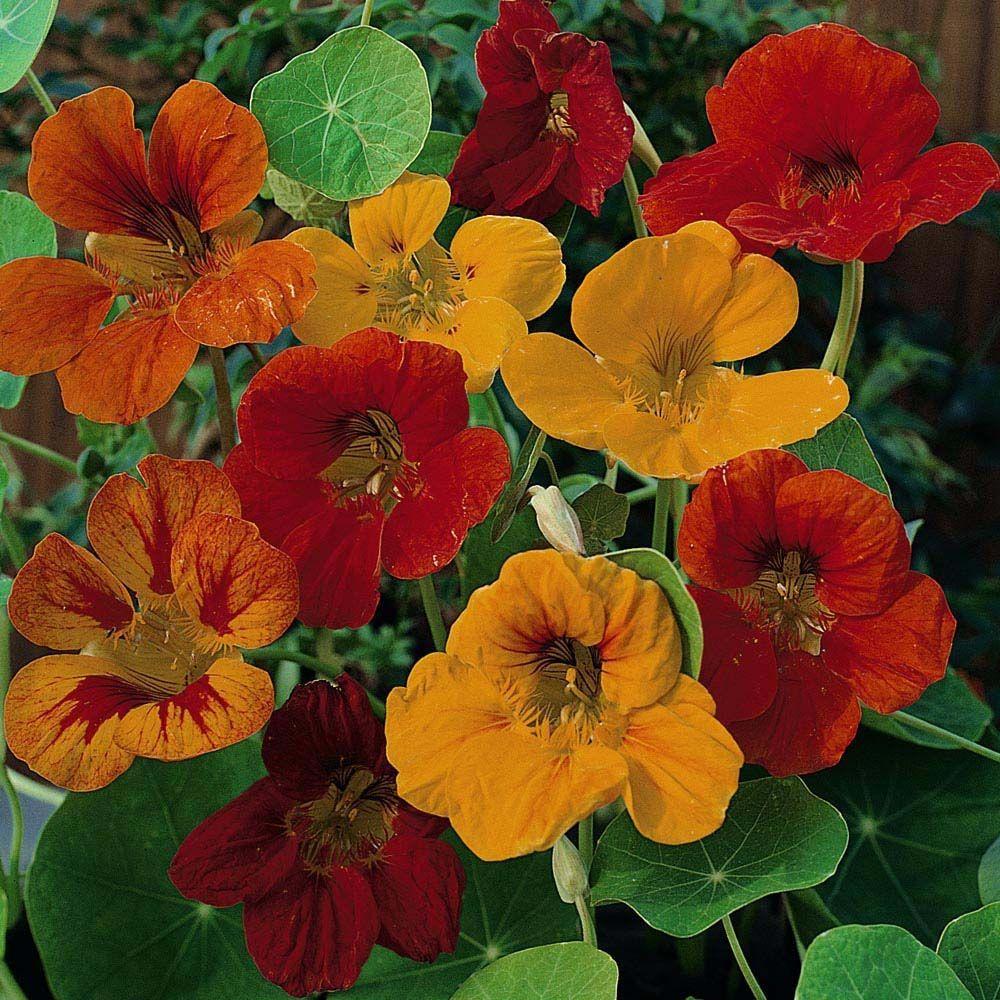 Buy Nasturtium Seeds UK Order Flower Seed Thompson