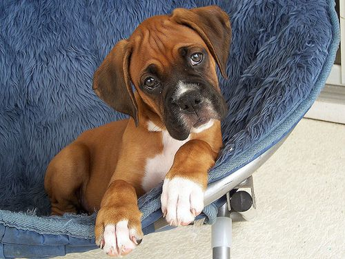 Boxer Puppies Puppy Pictures Of Boxer Boxer Puppies Boxer