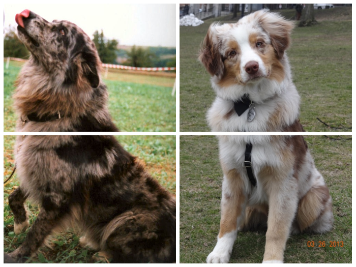 Australian Shepherds Self Red Merle And Red Merle With White