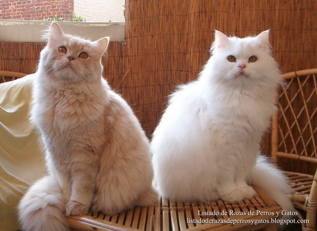 Raza De Gato Persa Persian Longhair Hayvanlar Kedi