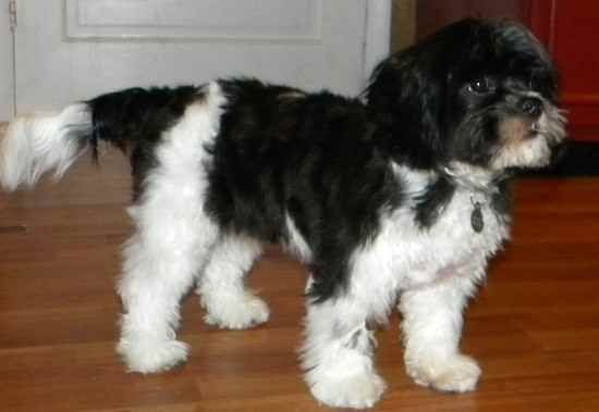 Name Wilson Breed Lhasalier Gender Male Born 9 19 2009 From Upstate Ny Us Posted 4 15 2010 Ra Lhasa Apso Lhasa Apso Puppies Yorkie Dogs