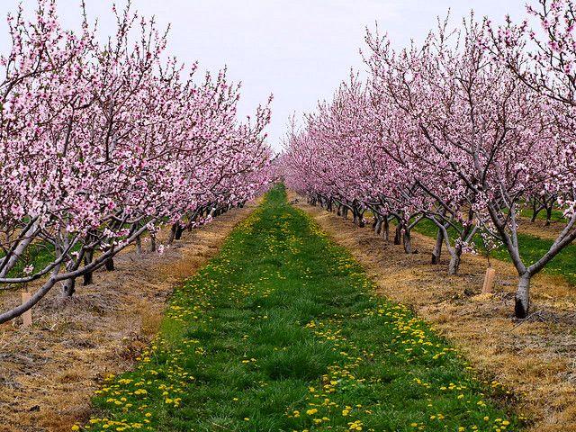 Peach Tree Orchard Niagara Peninsula On Peach Trees Peach Orchard Jacaranda Tree