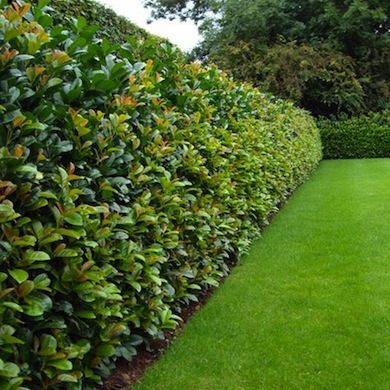 11 Living Fences That Look Better Than Chain Link Privacy Fence